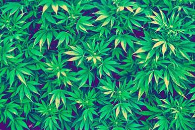 Cannabis, Maconha e Cânhamo - drogas recreativas e medicamentosas