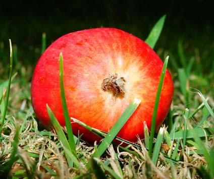Sementes de maçã são venenosas?